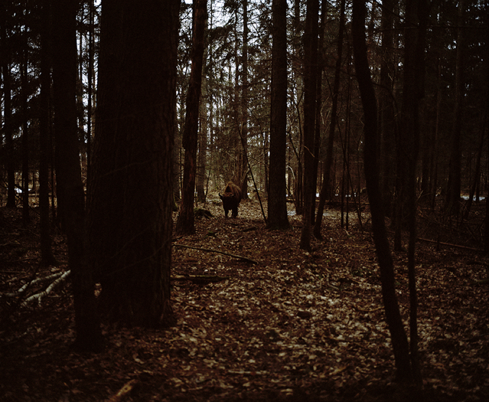Finding the Bison, Bialowiesa Forest, January Poland 2018